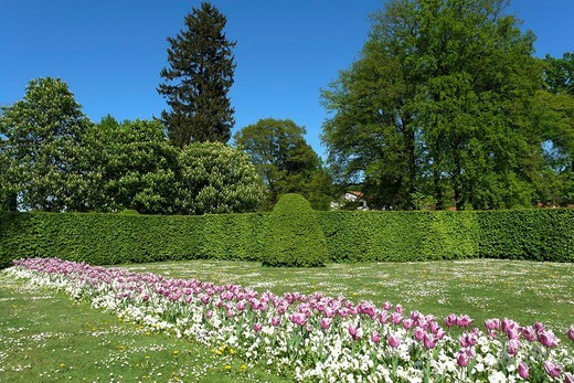 Germany, Lower Saxony, Bad Driburg, Health resort park, Bed of tulips, Pansy, Viola, Plants, Ways, Park, Gardens, Flowers, Trees : Stock Photo