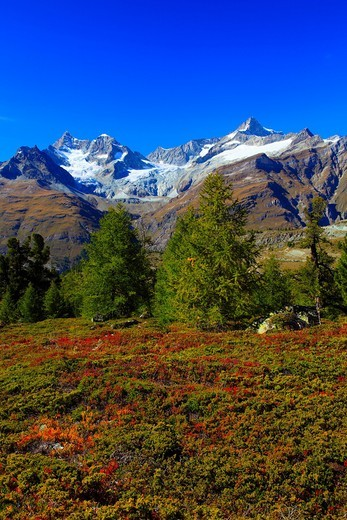 Stock Photo: 1597-96063 Alps, Alpine flora, Alpine panorama, view, Grünsee, view, mountains, mountain panorama, mountain lake, peak, cliff, rock, flora, mountains, summit, peak, blueberry, blueberry shrub, autumn, autumn colors, scenery, Mattertal, nature, Obergabelhorn, panoram