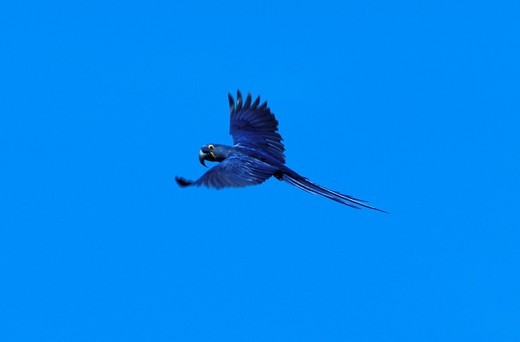 Hyacinth Macaw, parrot, Anodorhynchus hyacinthinus, Pantanal, near Cuiaba, Mato Grosso, Brazil, South America, bird, flying : Stock Photo