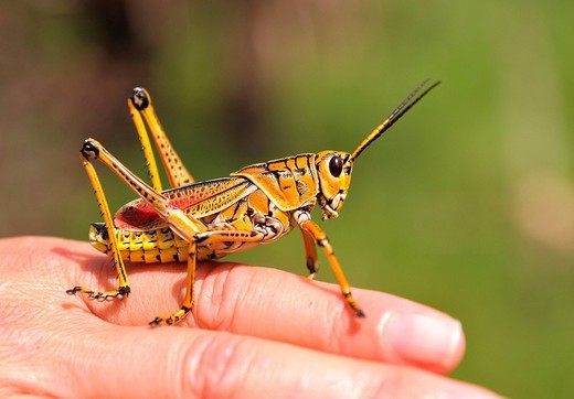 Lubber Grasshopper, hand, insect, Florida, USA, United States, America, : Stock Photo
