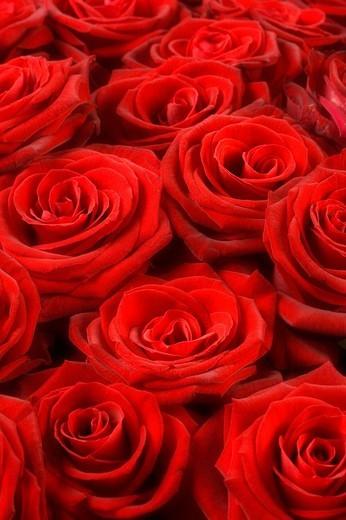 Stock Photo: 1597-98337 Beauty, Botany, Bouguet, Bunch, Delicate, Detail, Extreme close up, Elegance, Flora, Flower, Flowers, Fragile, Fragili