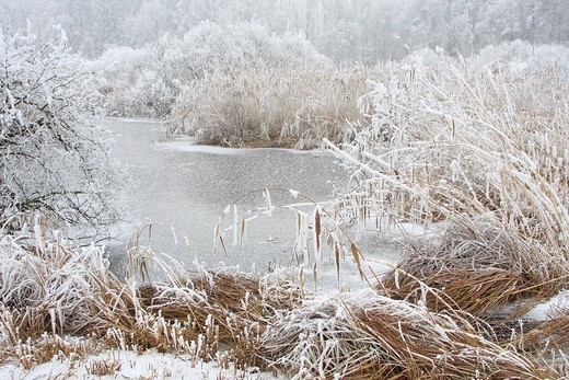 Reed, Phragmites australis, Phragmites communis, winter, Switzerland, Europe, nature reserve, white, hoarfrost, cold, : Stock Photo