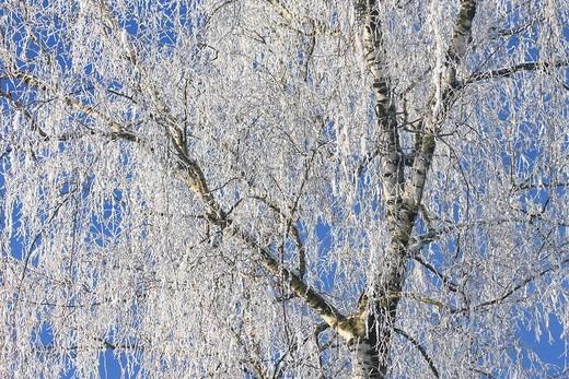 Betula pendula, birch tree, birch, Winter, Oetwil, See, Switzerland, Europe, tree, branches, white, blue, detail, natu : Stock Photo