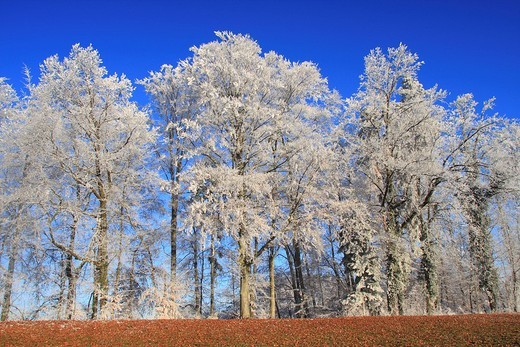 Stock Photo: 1597-98733 forest, Switzerland, Europe, winter, white, frost, hoar, hoarfrost, cold, cold, branches, nature, detail, trees, tree,