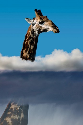 Stock Photo: 1597-98738 Giraffe, humor, fun, funny, collage, creation, composition, above the clouds, view, better, animals, animals, fog, sun