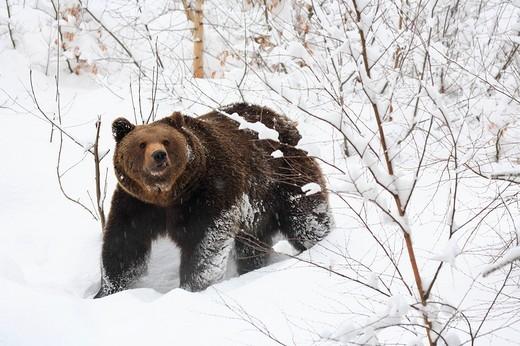 Stock Photo: 1597-98780 Ursus arctos, Brownbear, European Brownbear, Brown bear, Bavarian Forest, national park, Bavaria, Germany, Europe, win