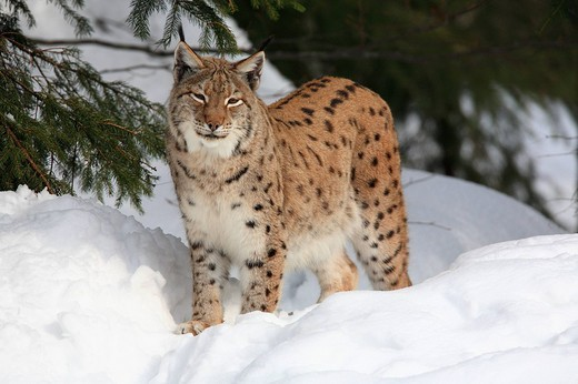 Stock Photo: 1597-98831 Lynx lynx, European Lynx, Bavarian Forest, national park, Bavaria, Germany, Europe, winter, snow, white, animal, anima