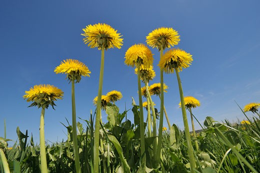 Dandelion in a meadow facing a clear blue sky. Bavaria, Germany, Europe. : Stock Photo