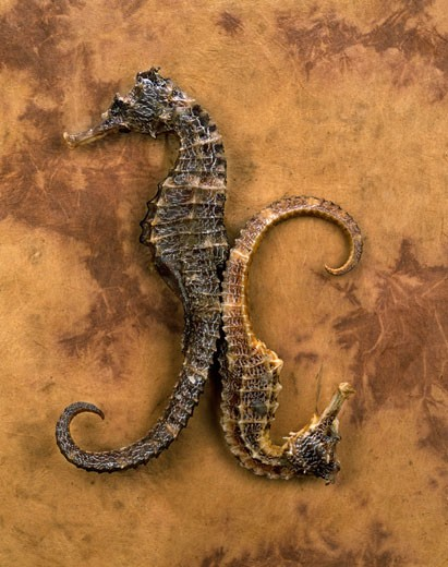 Stock Photo: 1598R-10001578 Dried Seahorses on Leather