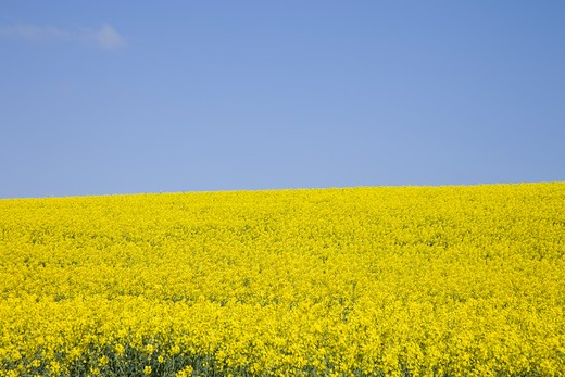 A yellow field of Rapeseed : Stock Photo