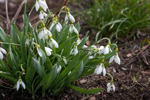 Stock Photo: 1598R-10005646 Common Snowdrop (Galanthus nivalis)