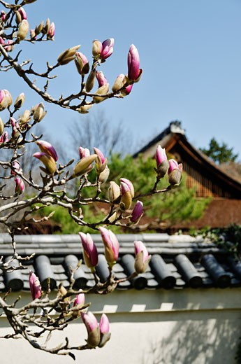 Stock Photo: 1598R-10006145 Magnolia tree in Philadelphia park. Selective focus on the foreground tree.