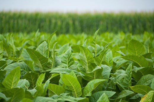 Field of tobacco and corn. : Stock Photo