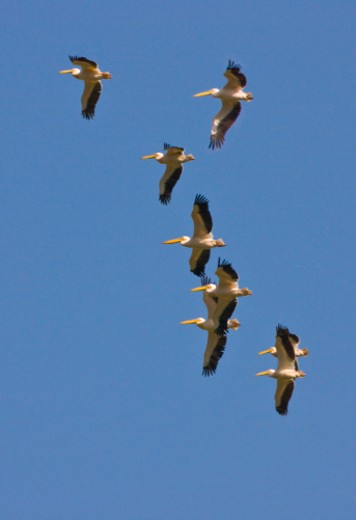 African White Pelicans in flight : Stock Photo
