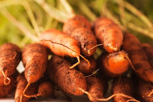 Freshly harvested carrots (Daucus carota ssp). : Stock Photo