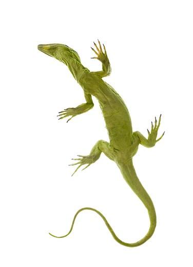 Stock Photo: 1598R-10016398 Lizard Model Seen from Below