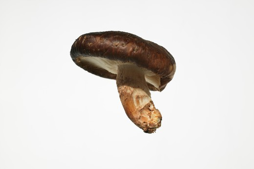 Floating Shiitake mushroom : Stock Photo