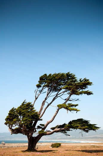 Stock Photo: 1598R-10020234 Stornetta Public Lands. Cupressus macrocarpa (Monterey Cypress, Macrocarpa; syn. Callitropsis macrocarpa) is a species of cypress endemic to the coast of California. The 1,132 acre Stornetta Public Lands are located along the Mendocino County coastline just north of the town of Point Arena.