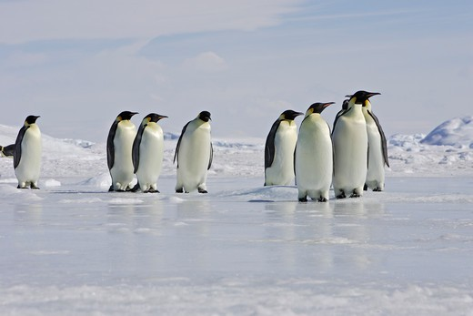 Emperor Penguin .  Snow hill island .Weddel Sea . Antarctic Peninsula . Antarctica Aptenodytes forsteri Family : Spheniscidae Order : Sphenisciformes : Stock Photo