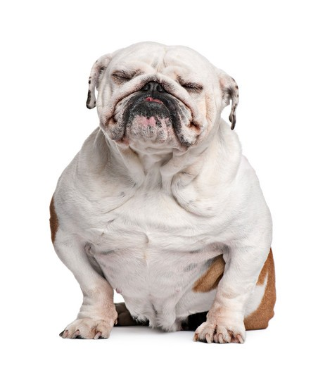 English Bulldog, sitting in front of white background : Stock Photo