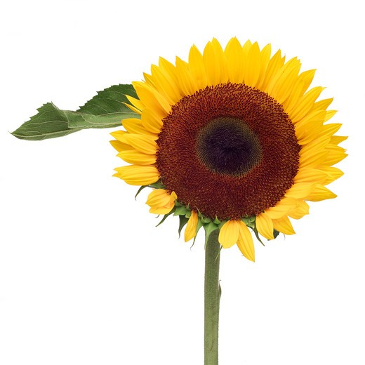 Sunflowers (Helianthus annuus) are annual plants native to the Americas, that possess a large inflorescence (flowering head). : Stock Photo