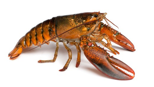 American lobster - Homarus americanus - side view : Stock Photo