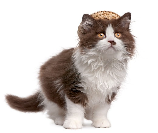 Stock Photo: 1598R-10032017 British Longhair kitten (3 months old) wearing a straw hat