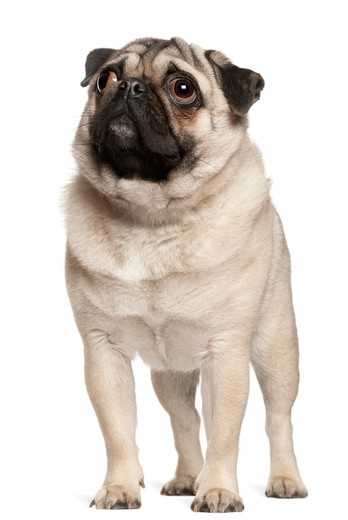 Stock Photo: 1598R-10033794 Pug (13 months old) looking up