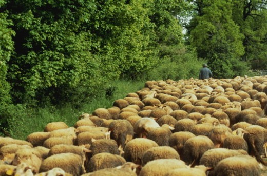Stock Photo: 1598R-10034287 Herd of sheep with shepherd on country lane