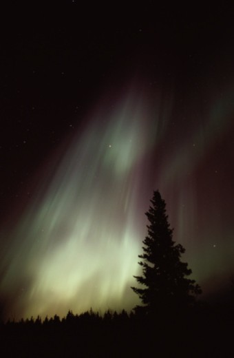 Aurora Borealis and Tree : Stock Photo