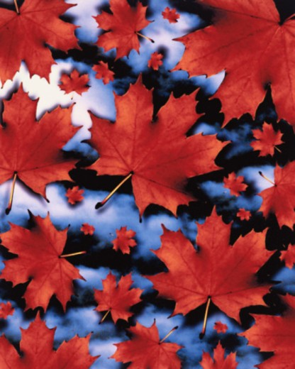 Stock Photo: 1598R-10037411 Autumnal Maple Leaves