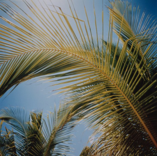 Stock Photo: 1598R-10040476 Palm Frond