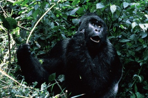 Stock Photo: 1598R-10044113 Zaire,close up of Silver Back Mountain Gorilla in undergrowth