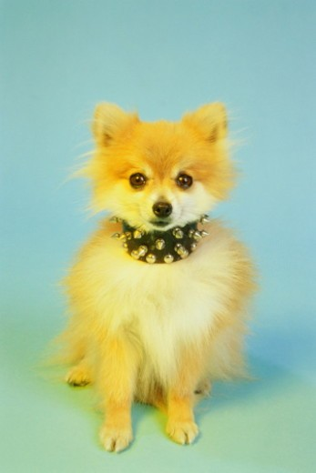Stock Photo: 1598R-10056110 Latin name: Canis familiaris. The Pomeranian is thought to have originated from the former Prussian state of Pomerania, descended from the large white spitz dog.