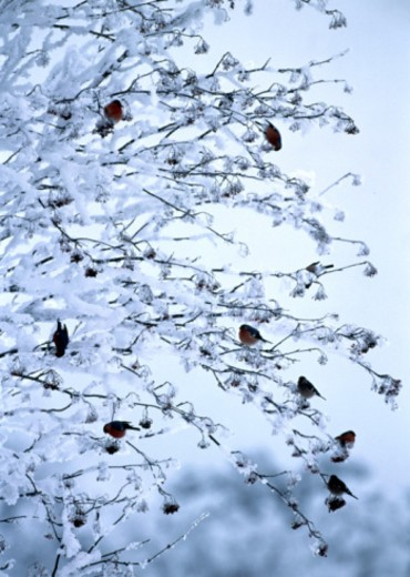 Stock Photo: 1598R-10057877 Bullfinches (Pyrrhula pyrrhula) in frost covered tree, Sweden