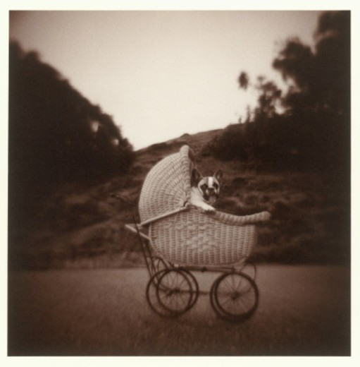 French Bulldog in antique baby carriage (toned B&W) : Stock Photo