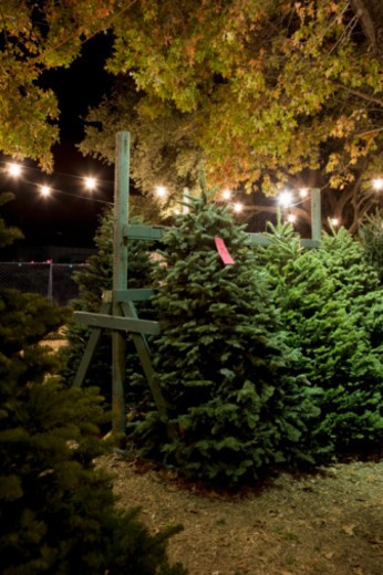 Stock Photo: 1598R-10068331 Christmas trees in rack for sale in field at night, lights strung overhead.  Tree type: Noble Fir (Abies procera).