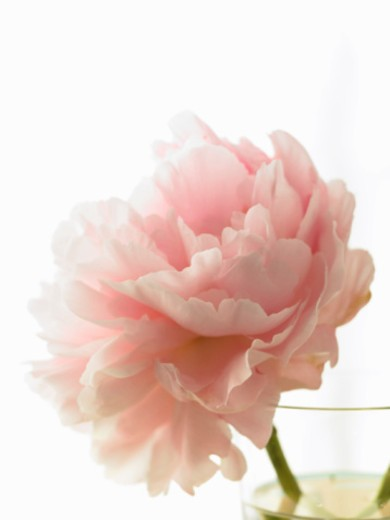 Stock Photo: 1598R-10070715 Pink peony (Paeonia lactiflora) in vase against white background