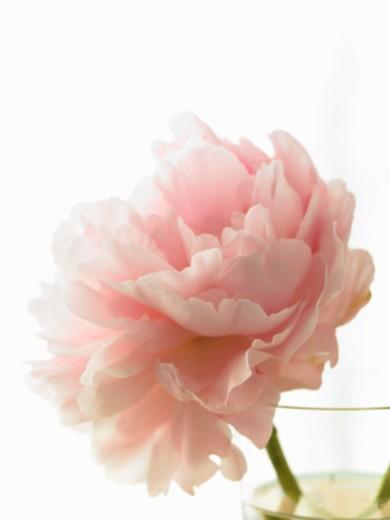 Pink peony (Paeonia lactiflora) in vase against white background : Stock Photo