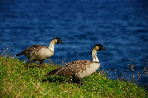 Hawaiian Goose Nene is endangered species.The District of Puna is located on the easternmost portion of the Big Island. : Stock Photo