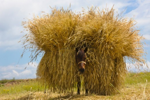 Stock Photo: 1598R-10072243 Donkey carrying straw