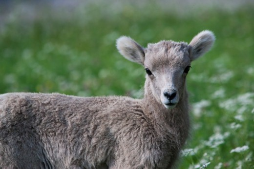 a young stone sheep (Ovis dalli stonei) in Jasper National Park : Stock Photo