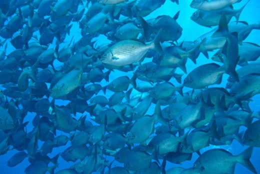 School of Cortez Sea Chub fishes (Kyphosus elegans), Wolf Island, Galapagos Islands, Ecuador : Stock Photo