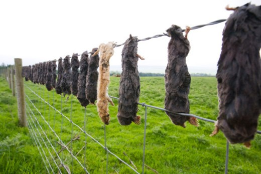 Dead moles and a weasel left impaled to barbed wire fence by mole catcher. Moles tunnel in the ground causing problems for cattle. : Stock Photo