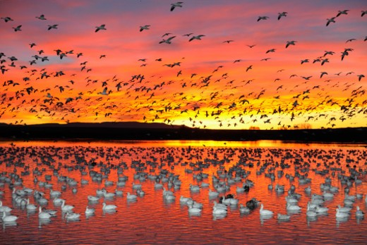 Snow goose (Anser carulescens) : Stock Photo