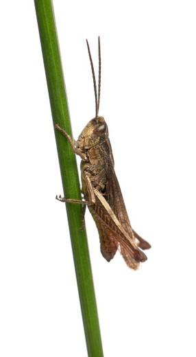 Grasshopper - Chorthippus montanus on a leaf : Stock Photo