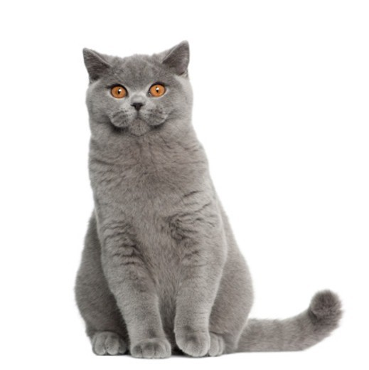 Stock Photo: 1598R-10076842 British Shorthair (5 months old)