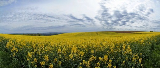Stock Photo: 1598R-10076894 agricultural landscape with rapefield