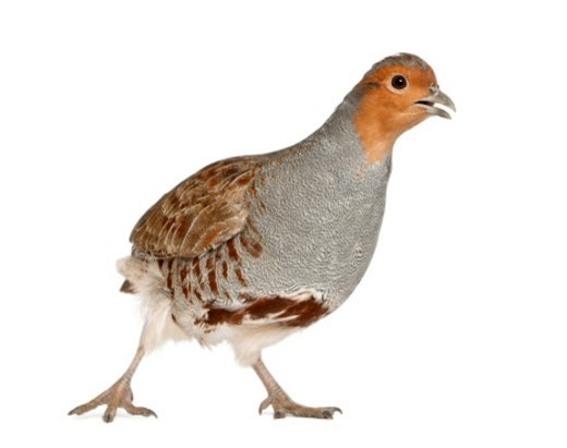Stock Photo: 1598R-10077121 Grey Partridge is a gamebird in the pheasant family