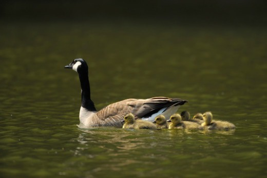 Canada Goose, Branta canadensis, Adult with Chicks,  Bavaria, Germany : Stock Photo